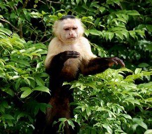 White faced Capuchin monkey in Gatun Lake