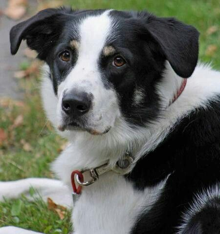 Pin By Amber Carlson On Soft Spot Collie Border Collie Lab Mix Border Collie