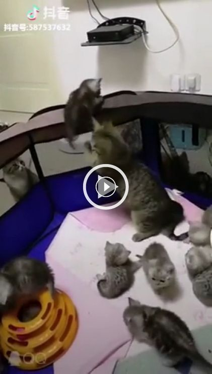 Students Stop People From Feeding Their Overweight Campus Cat By Using Ingenious And Funny Graph Videos Adorabl Siamese Cats Facts Cat Facts Great Warriors