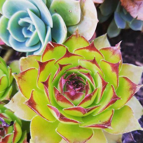 Succulentes J Aime Leurs Belles Couleurs Avec Images Belle