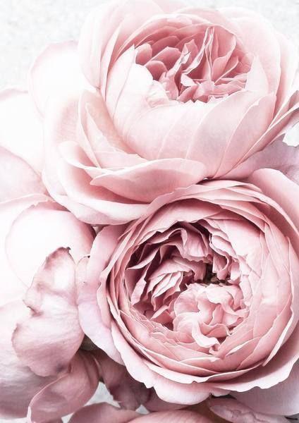 Pfingstrosendruck Erroten Rosa Blumen Foto Plakat Rosa Blumen Poster Blumen Hintergrundbilder Blumen
