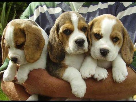 Beagles Do The Funniest Things Youtube Beagle Puppy Beagle