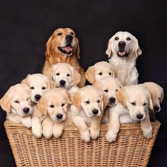Mom And Dad Golden Retriever Dogs With Their Puppies Retriever