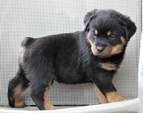 Rottweiler Dogs For Sale In United States Pennsylvania