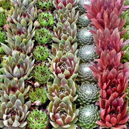Succulents For Sale Online Mountain Crest Gardens Succulent Plants Succulents Succulents For Sale Buy Succulents