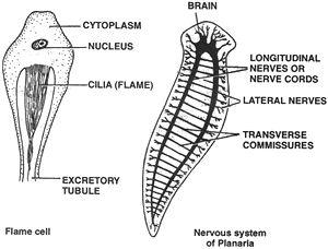 phylum platyhelminthes diagramon féreg