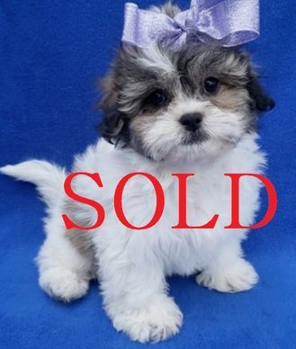 Available Puppies Royal Shihtzu Breeders Shih Tzu Puppy