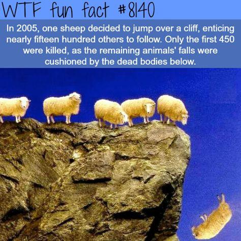 1500 sheep jump of a cliff wtf fun fact