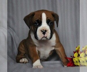 Boxer Puppy For Sale Near Santa Barbara California C7833574 61d1 Dog Breeder Boxer Puppies Puppies
