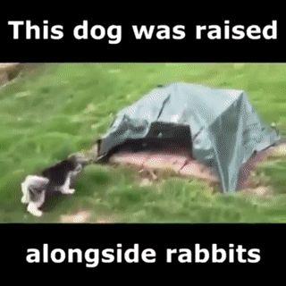 A dog was raised alongside rabbits....
