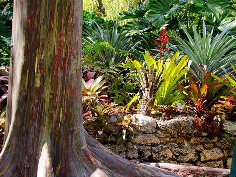 Rainbow Gum in Sunbeams. by gringopeligroso, via Flickr. Fairchild Tropical Botanical Gardens, Miami, Florida, USA