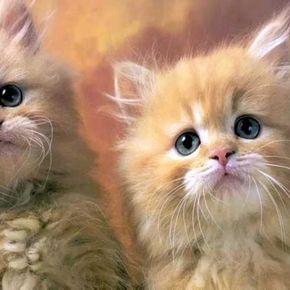 تربية القطط الشيرازي والعناية بها Cats Vets Animals