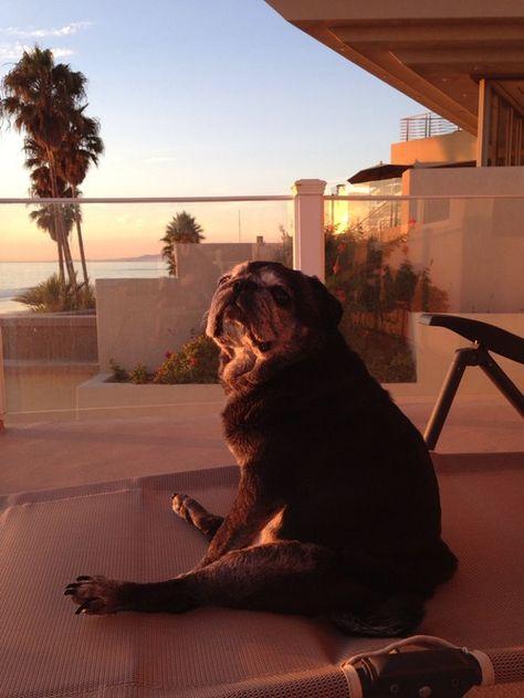 Oldster Pug Is Enjoying The Sunset Cute Pugs Pugs Funny Pugs
