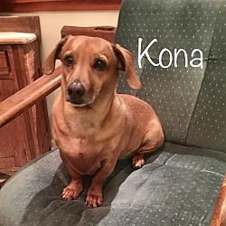 Los Angeles California Dachshund Meet Kona A For Adoption