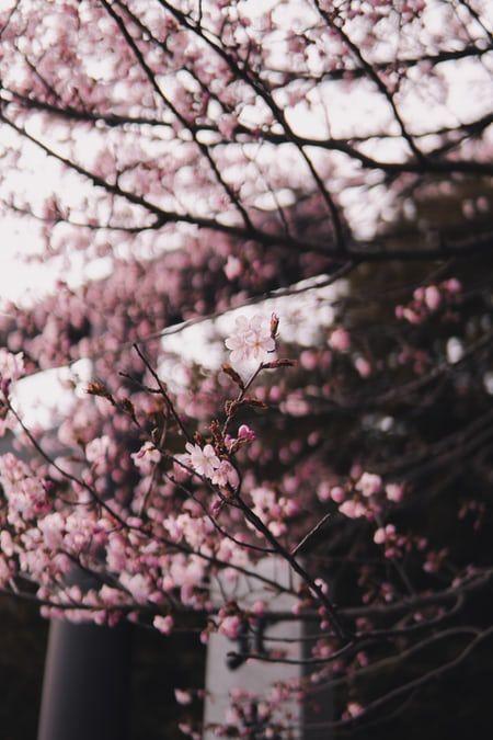Water Droplets On Mirror Photo Free Night Image On Unsplash Blossom Trees Cherry Blossom Tree Blossom