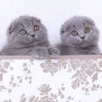 Fbrl Cat Breeders Scottish Fold Breeders Cat Scottish Fold Scottish Fold Scottish Fold Kittens