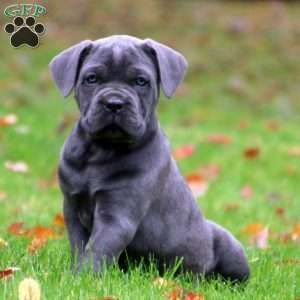 Pin On Hund Cane Corso