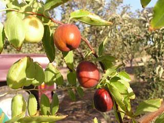 Li Jujube Jujube Tree Fruit Trees Fruit Tree Nursery