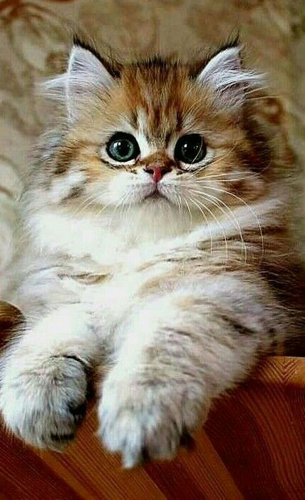 I M Looking Straight At You Cute Cats Cute Baby Animals Kittens Cutest
