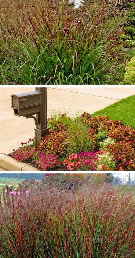 Choose Prairie Winds Cheyenne Sky Red Switch Grass For A Splash Of Color In Your Landscape This Ornamental Grass Fo Grass Ornamental Grasses Backyard Garden