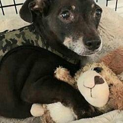 Available Pets At Little Paws Dachshund Rescue In Orangeburg South Carolina Dachshund Adoption Pet Adoption Dachshund Colors