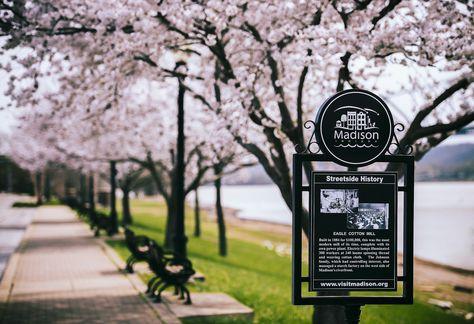 Cherry Blossoms On The Riverwalk Madison Indiana River Walk Cherry Blossom