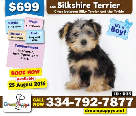Silk Shire Terrier Male Puppy Book Now Available In Store On