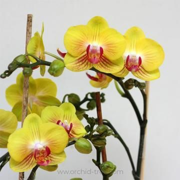 Phalaenopsis Golden Princess Phalaenopsis Orchid Orchid Tree Orchids
