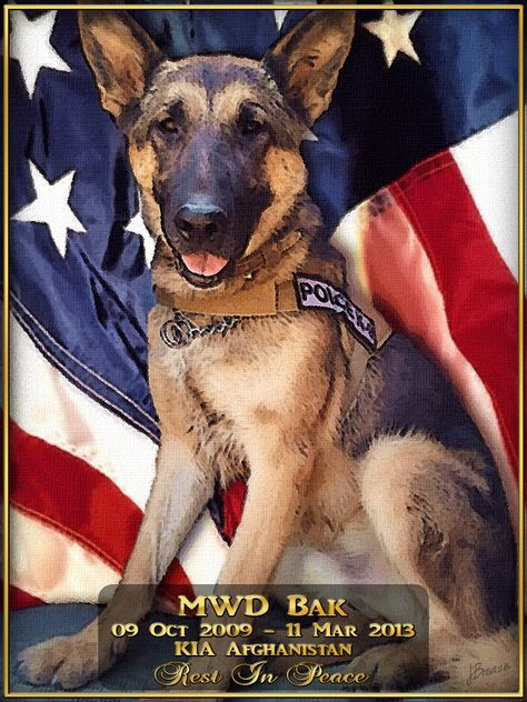 Killed in Afghanistan March 2013~Deepest sympathies to MWD Bak's handler and all who knew him and the men who died with him. Bak was ambushed by the insider attack that also took the lives of two American soldiers and two Afghani policemen. The handler was wounded, but is expected to make a quick recovery.