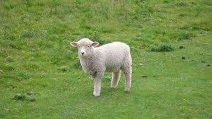 تفسير حلم الخروف في المنام وتفسير الخروف في المنام للرجل ذبح الخروف في المنام للحامل Sheep Cute Animals