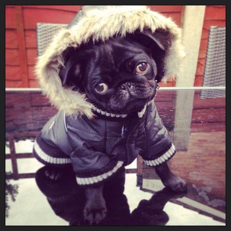 #pug #pugpuppy #pugsofinstagram #blackpug #blackpugpuppy #puppylove #puglove #pugeyes #cute #love