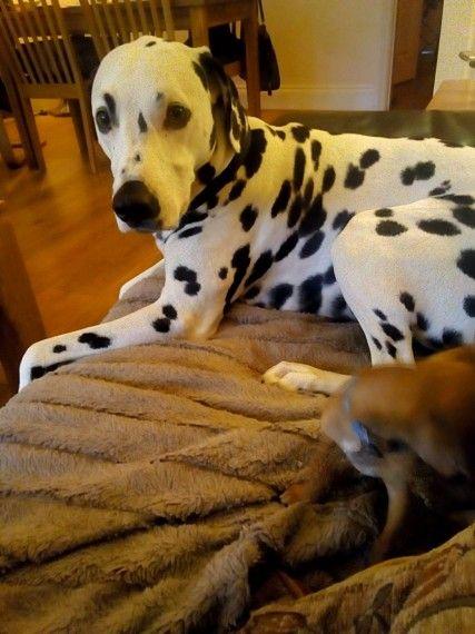Dalmatian For Sale Dalmatians For Sale Big Dog Crates