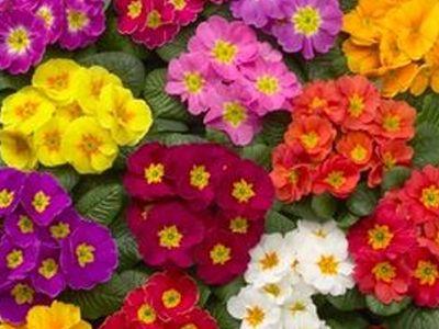 Plantas De Jardin Con Flores Y Sus Nombres Plantas De Jardín Un Mundo Lleno De Color En Tu Hogar En La Vida De La Naturale Primula Flower Pots Porch Garden