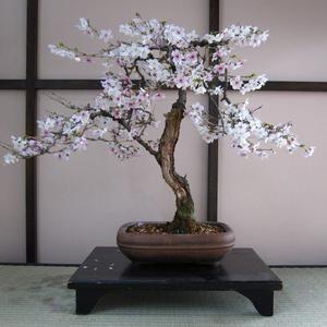 Bonsai Tree Bundle 3 Thick Trunk Bonsai Willow Tree Cuttings Etsy Cherry Blossom Decor Japanese Cherry Blossom Bonsai Tree