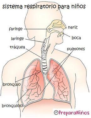 El Sistema Respiratorio Y Su Relación Con La Circulación Humana Sistema Respiratorio Para Niños Sistema Respiratorio Sistema Respiratorio Dibujo