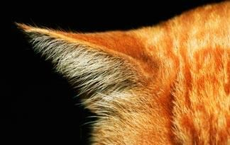 How To Treat Ear Mites In Cats Cats Animal Planet Pets