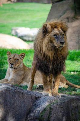 Bioparc Valencia Conmemora El Día Mundial Del León Alertando De Su Extinción Silenciosa Leon Africano Extincion Conservacion De La Naturaleza