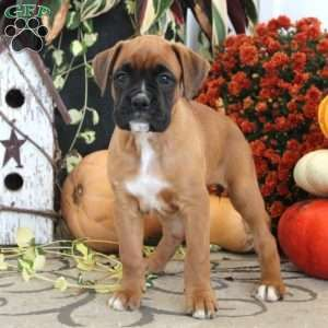 Katherine Boxer Puppy For Sale In Pennsylvania Boxer Puppies For Sale Boxer Puppy Boxer Puppies