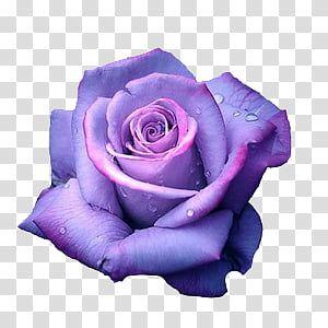 Aesthetic Grunge Purple Rose In Bloom Transparent Background Png Clipart Purple Roses Purple Roses Wallpaper Rose Illustration