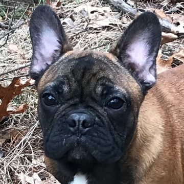 French Bulldog Puppy For Sale In Boston Ma Adn 69373 On