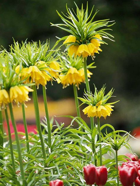 Jazz up your landscape with this dramatic Crown Imperial. More beautiful bulbs deer and rabbits don't eat: http://www.bhg.com/gardening/flowers/bulbs/beautiful-bulbs-deer-and-rabbits-dont-eat/?socsrc=bhgpin100113crownimperial&page=2
