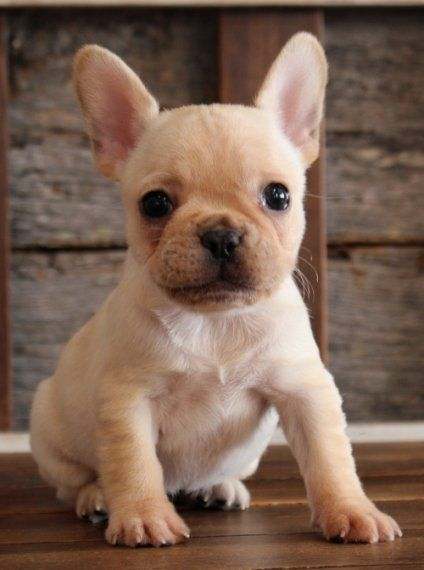 Dolly French Bulldog Puppy Puppyspot Amantes De Perros Perros