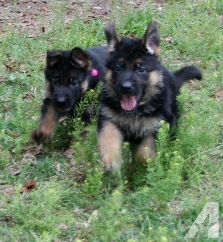 Blue Sable German Shepherd Dog German Shepherd Puppies For Sale