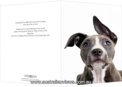 Print of Headshot of a staffordshire bull terrier puppy looking at the camera