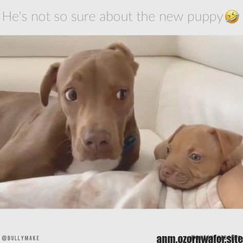 Most up-to-date Pic dogs and puppies pitbull Suggestions  Accomplish you care about your canine? Obviously, people do. Correct dog care and also teaching will assure y #dogs #Pic #pitbull #puppies #Suggestions #uptodate