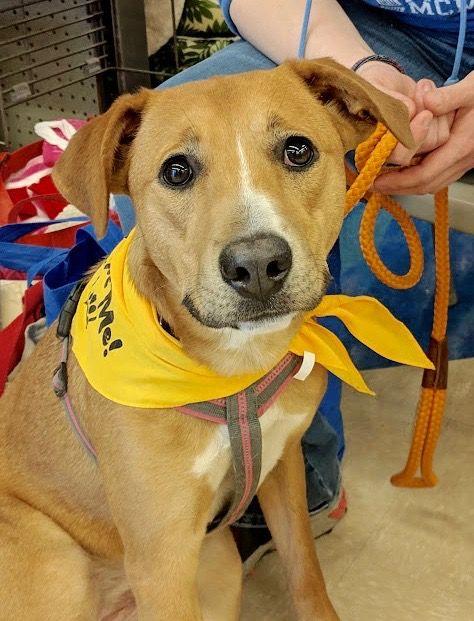 Adopt A Dog Labrador Retriever Hound Mixed Short Coat In