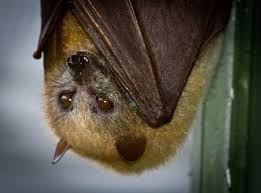 Little Golden Mantled Flying Fox Pteropus Pumilus Google Search Fruit Bat Animal Photography Animals Wild