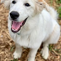 Kiowa Ok Golden Retriever Meet Nella A Pet For Adoption