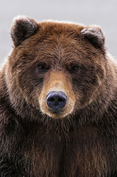 """We saw this female most everyday. The guide called her """"Crimp Ear"""" because at sometime the top of her her left ear had been lost. This is not a name I would have chosen, as I thought she was good looking. What do you call a large female bear who has had part of an ear ripped off? By, Frank Scott"""