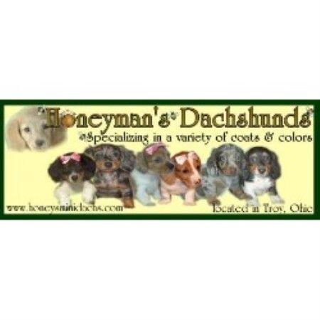 Honeyman S Dachshund S Dachshund Breeder In Troy Ohio Dog